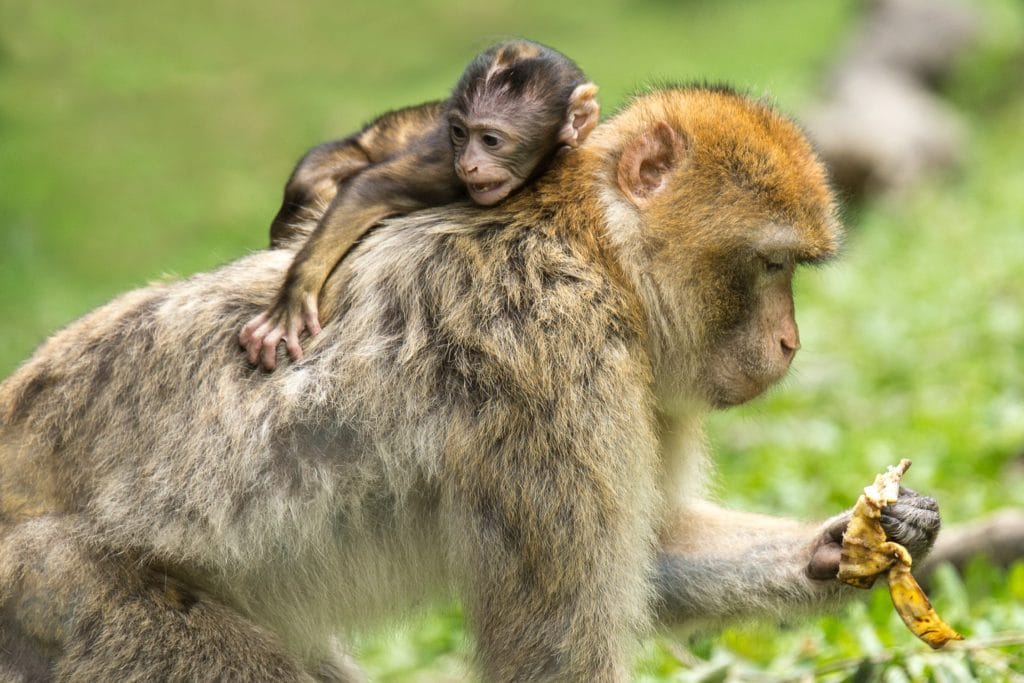 singe enfant mère