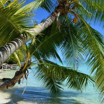 palmier bora bora