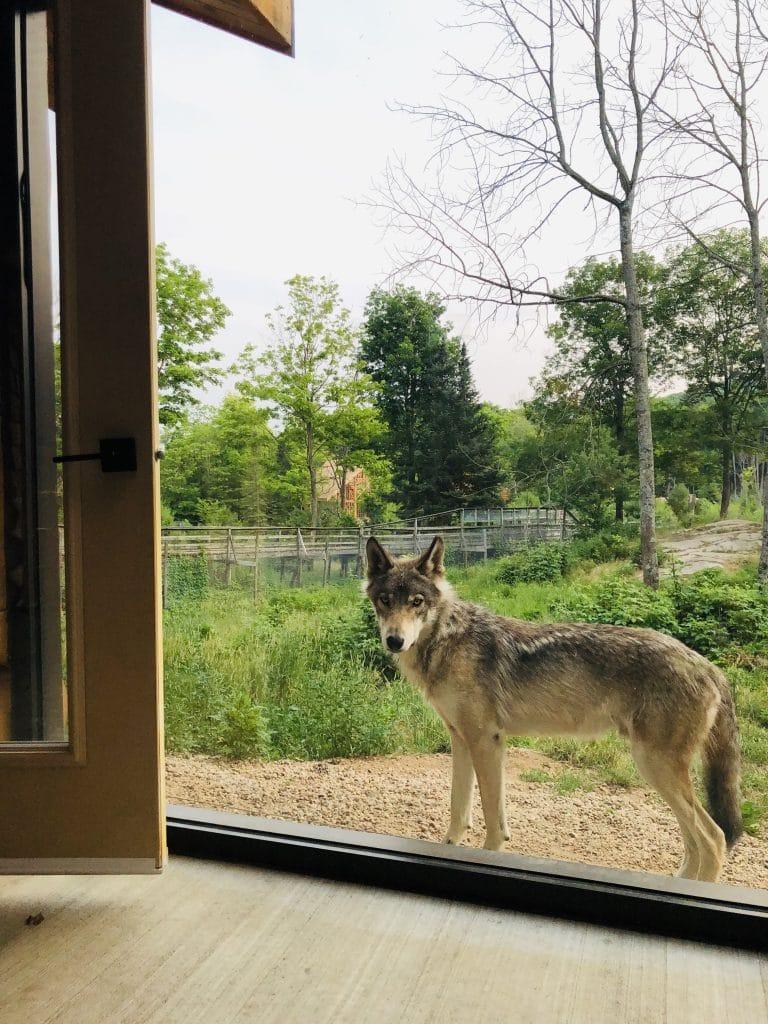 cabane des loups 2